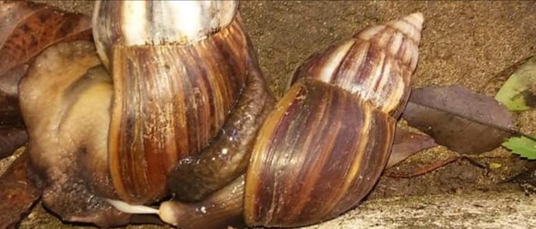 Se hallaron 420 caracoles gigantes africanos en Corrientes Capital